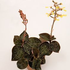 Anoectochilus-formosanus-orchid-species-Jewel-Orchid Anoectochilus-formosanus-orchid-species-Jewel-Orchid Have one to sell? Sell it yourself Anoectochilus - Google Search