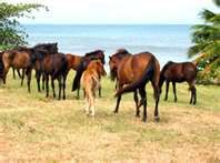 *Vieques, Puerto Rico..horses at the beach