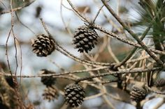 How To Cook With Pine Cones And Twigs - Food Storage Moms