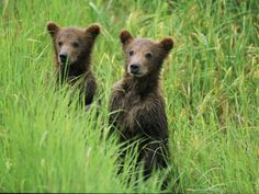 Alaskan Brown Bear Cubs Wait in Long Grass for Their Mother Photographic Print
