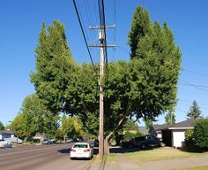 This tree was shaped to accommodate the power lines that were running through it. Tree Pruning, Hedges, Utility Pole, Trees, Running, Plants, Tree Structure, Keep Running, Living Fence
