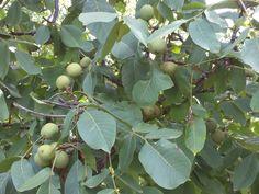 Noix de Grenoble AOC AOP 27_1 France, Fruit, Walnut Oil, Kitchens, French