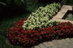 Wax Begonia, Fibrous Begonia (Begonia x semperflorens-cultorum)-Hort Answers Terraced Patio Ideas, Perennial Garden Plans, Begonia, Garden Planning, Perennials, Wax, Landscape, Google Search, Plants