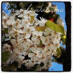 Photo: Pyrus kawakamii – Japanese Ornamental Pear #tree #flower via Instagram | My Word with Douglas E. Welch
