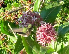 hummingbird hovers/ nectar-bead on her beak/ tending milkweed #haiku #nativeplants #birds #pollination #garden