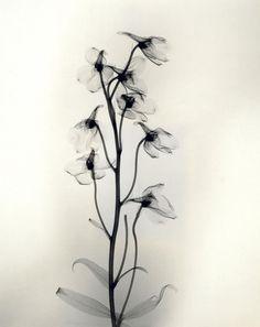 Photographies aux Rayons des Années 1930 de Détails délicats de Fleurs (8)