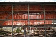 persimmon drying 干し柿
