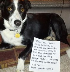 """""""While my family is on holiday, I DISOBEY my sitter by chasing the sheep so that they stampede her and her only escape route is to climb an electric cattle fence. - So sorry... Alita (Border Collie)"""" ~ Dog Shaming  – 57 Pics"""
