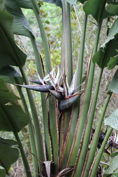 Not often seen - Bloom on White Bird of Paradise. Strelitzia nicolai http://www.plantandflowerinfo.com/