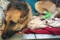 Cão salva criança de cobra venenosa