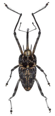 <br><b>Mecopus cf. bispinosus (Weber, 1801)</b> - det. S.Kakunin et R.Filimonov (Curculionidae)