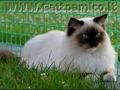 Ragdoll - beautiful seal point mitted