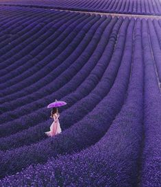The Lavender Fields of Valensole, France
