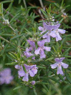 Westringia Brevifolia - Australian Rosemary...