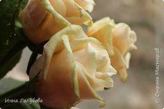 И снова всем привет,и снова я с розами, но в этот раз сорт Талея. Заодно и процесс отфоткала) Листики на фото живые. Свои еще не одела в них) фото 21