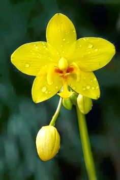 Yellow face Orchid