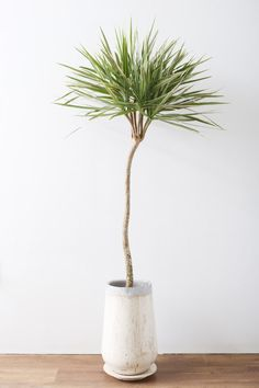 ドラセナ・コンシンネ ' バイカラー ' / Dracaena marginata cv.' Bicolor ' [ BUY NOW ] ※本投稿の掲載日から経過している商品は、完売またはリンク切れしている場合があります。 AYANAS Official... Dracena Marginata, Dracena Plant, Planting Succulents, Planting Flowers, Indoor Palms, Cactus Plante, Living Room Plants, Garden Planner, Plants Are Friends