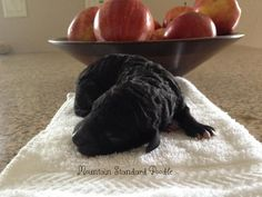 Lucky at 1 day old. He might be a silver standard poodle.