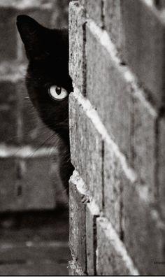 I spy with my feline eye...someone who should adopt black cats. Who says black cats don't photograph well?#blackandwhite #blackcat @catwisdom101