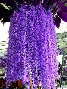 Rhynchostylis gigantea is a species of orchid. This species was first described in 1896 by John Lindley and occurs in Myanmar, Thailand, Malaysia, Laos, Cambodia, Vietnam, Hainan China, Borneo, Bangladesh and the Philippines.