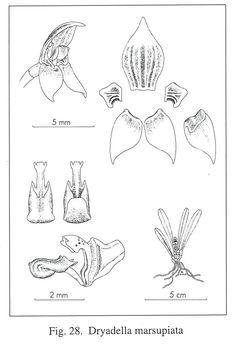 Dryadella marsupiata