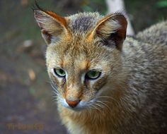 Jungle or Swamp Cat (Felis chaus) are found from the Nile Valley to Southeast Asia.  -kc