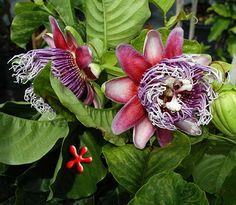 """Zone 9 Tropicals Passiflora quadrangularis """"Giant Granadilla"""" (qt)"""
