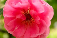 """Pinky charming Rose"""