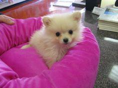 pom baby. looks like Puppy!