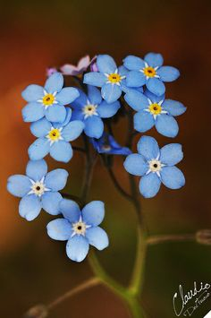Forget-me-not♥