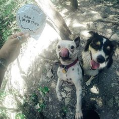 Oh nature, how I love thee! Nature is my reset button and hiking with them pups is my sanctuary. The birds sing. The creek runs.  #hikingwithdog #noosayoghurt #noosa #australianshepherd #aussies #bostonterrier #hiking #nature #makeseverythingbetter #flipyolid #cowpig