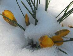 Crocus in the snow