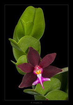 Trichoglottis philippinensis brachiata - Flickr - Photo Sharing!