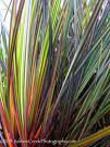 libertia ixioides - Google Search Google Search, Plants, Plant, Planets