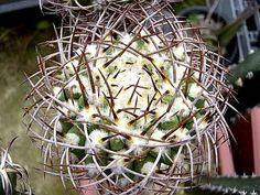 Eriosyce Rodentiophila fleischeriana