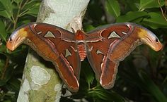 An Atlas moth (Attacus atlas), one of the largest winged insects. This one was well over 10 inches across and extremely colorful. Atlas Moth, Moth Wings, Bugs, Butterflies, Tropical, Colorful, Beetles, Butterfly, Insects