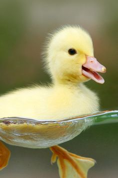Cute Yellow Baby Duck