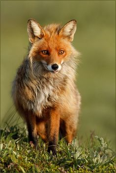 Fabulous Fox