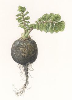 <Strong> Black daikon dadish </strong>  <small><em> Raphanus sativus </em>   9 1/2 x 7 1/2  </small>   watercolor on paper