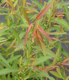 Salix rigida 'American McKay'