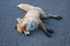 fox computer wallpaper backgrounds