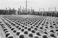 David Hurn, Cactus nursery, Arizona, USA, 1997