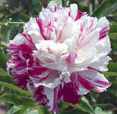 """""""Candy Stripe """"peony small bare root plant-Exclusive"""