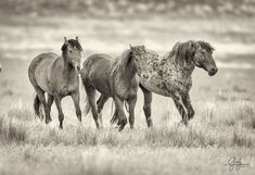Wild Horses Utah Onaqui Herd Roan With His Two Mares - My favorite mustang (on right) with his two mares