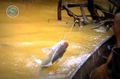 10 Resep Ampuh Umpan Mancing Ikan Baung - http://www.seputarikan.com/2016/03/10-resep-ampuh-umpan-mancing-ikan-baung.html