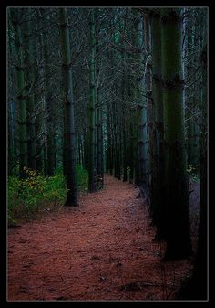 A trail through an old pine planting at Natureland Park, Wisconsin.