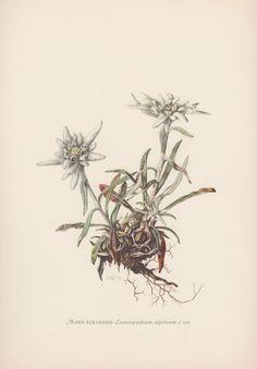 Botanical Print Edelweiss Leontopodium by AntiquePrintGarden