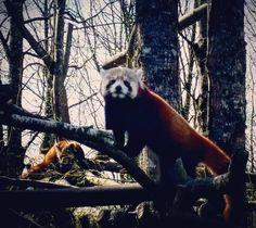 Alerte mignonnerie absolue / pandas roux @parczooreynou #ParcZooduReynou #LeVigen #Limousin #HauteVienne #igershautevienne #igerslimousin #igersfrance #ig_france #pandaroux #redpanda
