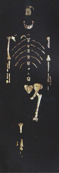 """""""ape-men""""...The 47 bones of Lucy, as assembled by Donald Johanson and published by him in ref. 7, p. 125. Note the complete absence of any hand and foot bones."""