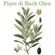 """Se l'autunno vi butta giù, l'olivo è un ottimo ricostituente. Infatti è tra i """"tonici"""" dei fiori di Bach, associato al colore giallo che trasmette luce e felicità. Ottimo rimedio per problemi di digestione, contro l'insonnia e senso di inadeguatezza."""